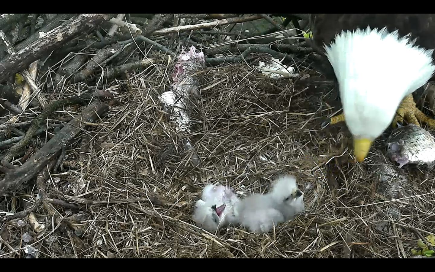Two eaglets are seen being fed Sunday morning, just a few hours after the youngest -- seen lying on its back, left -- popped