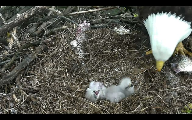 Wonderful 'nest cam' captures newborn in nest of bald eagle