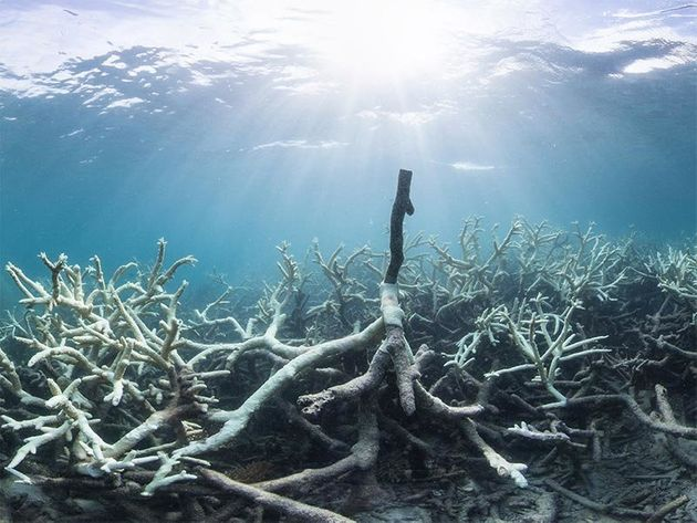 This March 2016 photograph shows coral bleaching of the Great Barrier Reef near Australia's Lizard