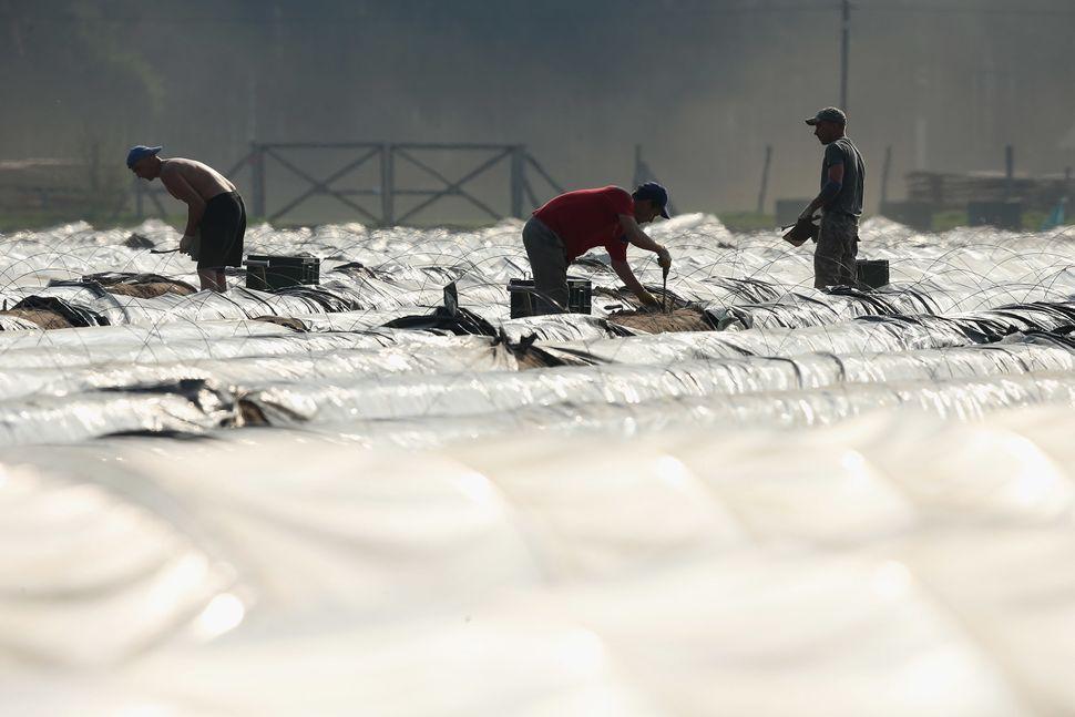 Polish migrant workers harvest white asparagus from an asparagus field at the Buschmann und Winkelmann Spargelhof Klaistow as