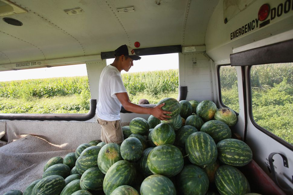 A migrant worker harvests watermelon from an irrigated farm field inIndiana.