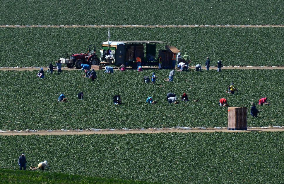 Migrant workers harvest strawberries at a farm near Oxnard, California.