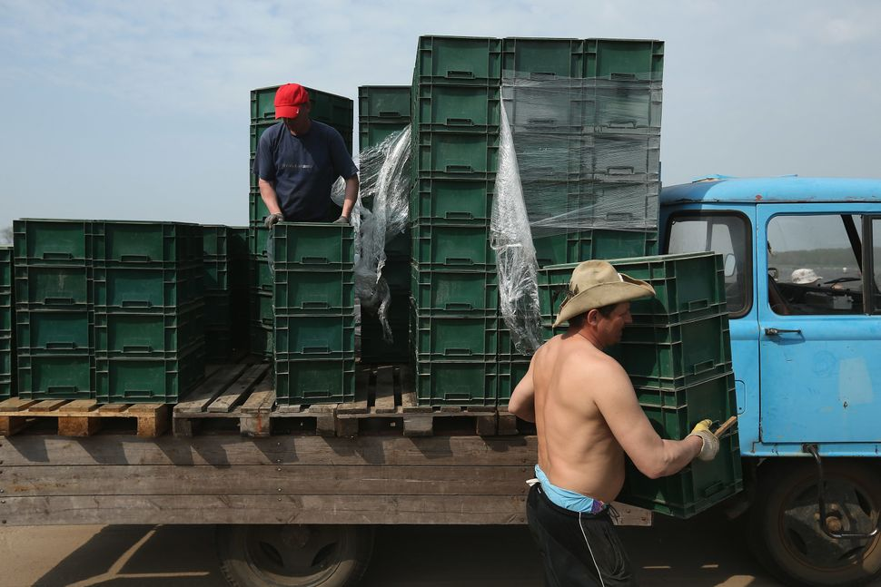 Polish migrant workers load boxes of freshly-harvested white asparagus onto a truck at the Buschmann und Winkelmann Spargelho