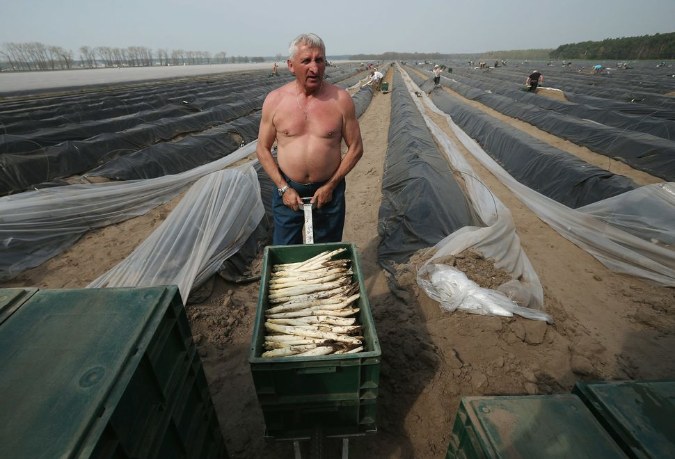 A Polish migrant worker brings a box of white asparagus he just harvested from an asparagus field to a truck at the Buschmann
