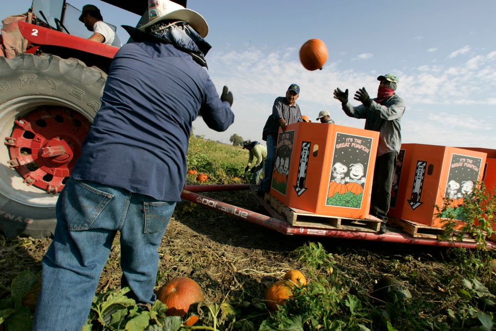 Juan de la Cruz, second from right, checks pumpkins as migrant workers put them in the box at the pumpkin farm in Cissna Park