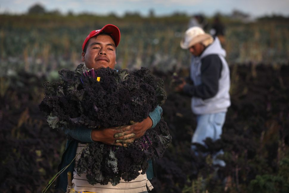 Mexican migrant workers harvest organic kale at Grant Family Farms in Wellington, Colorado.