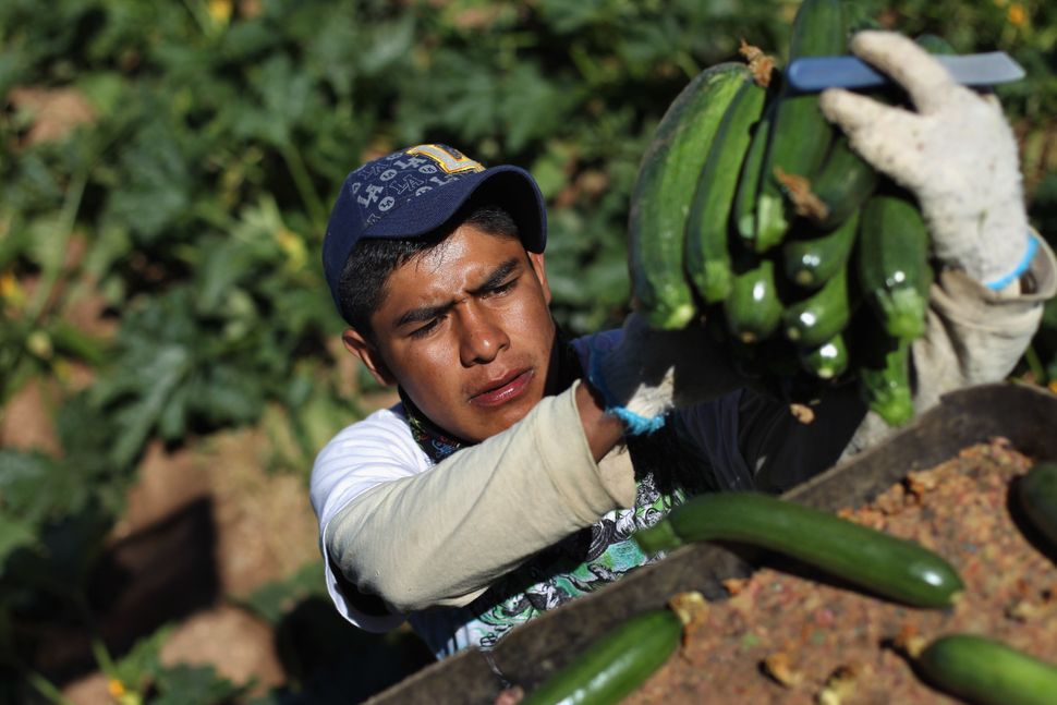 A migrant farm worker from Mexico harvests organic zucchini while working at the Grant Family Farms, the largest organic vege