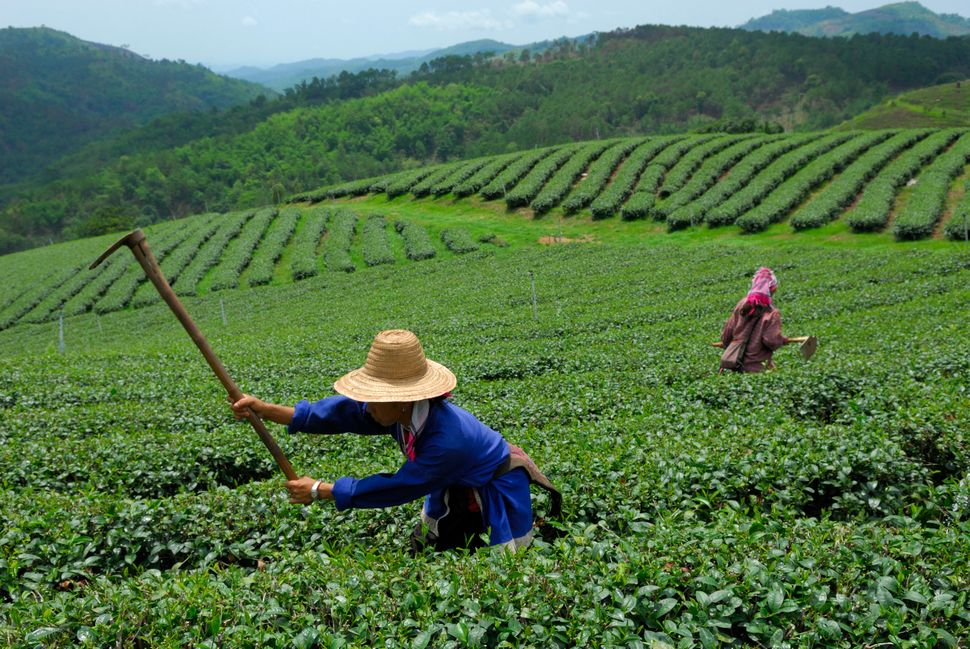 A Burmese laborer works in a tea plantation in Mae Salong. While the plantations are owned and run by Chinese Thais, much of