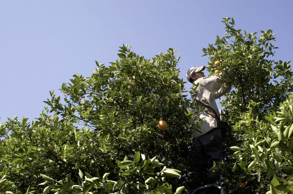 A migrant worker picks oranges at a grove in Bradenton, Florida. Much of the agriculture work in the area, including winter v