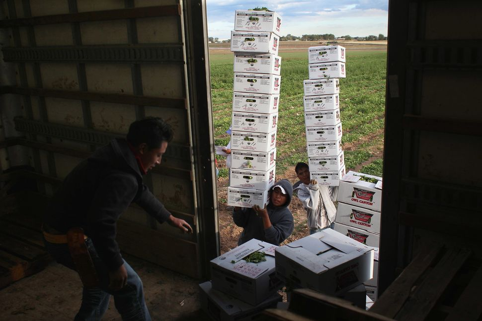 Mexican migrant workers carry boxes of organic cilantro in Colorado.