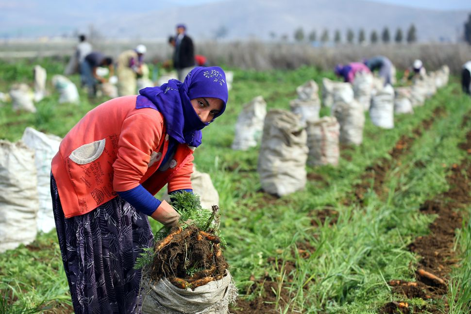 Syrian refugees who escaped from the Syrian civil war work in the carrot farm in Hatay, Turkey.