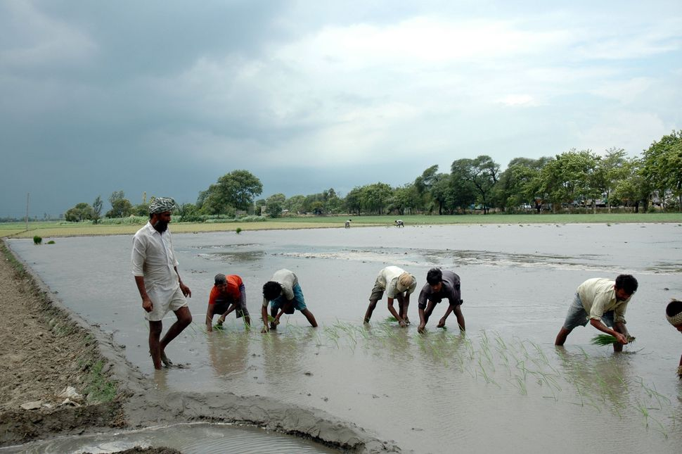 Migrant labourers from Bihar work in the paddy fields near Chandigarh in Punjab. Forced by the shortage of farm hands during