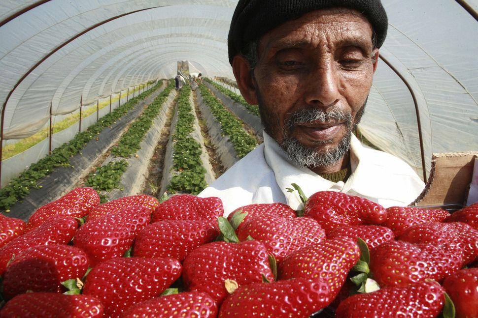 A migrant fruit picker holds up a carton of strawberries inside a greenhouse in Nea Manolada, Greece. Nea Manolada was a quie