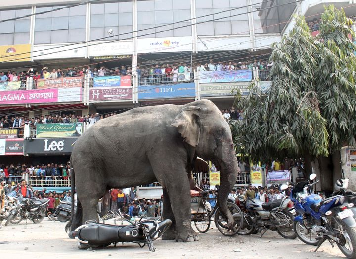 A wild elephantkilled a man in West Bengal state on Monday. A different elephant, pictured here, crushed vehicles and h