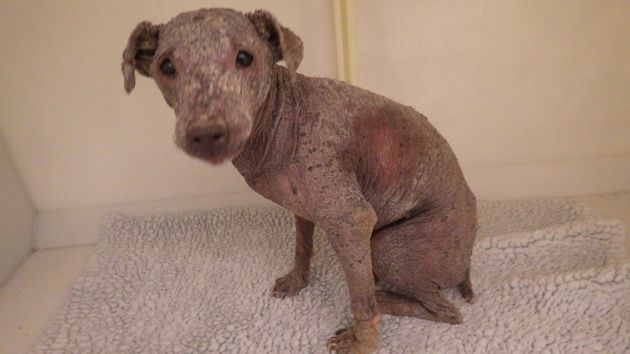 A terrier found wandering South Yorkshire streets with skin condition so bad it had left her scabby and
