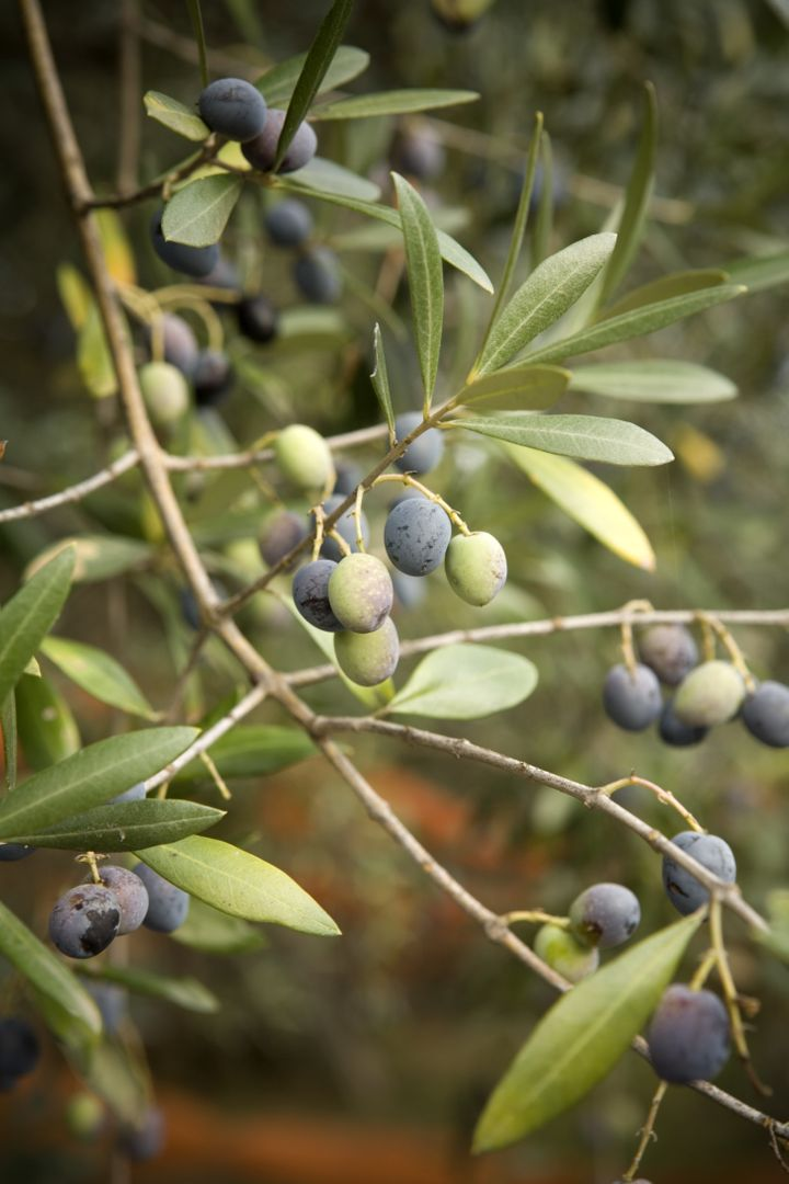 Proof that green and black olives both grow from the same tree.