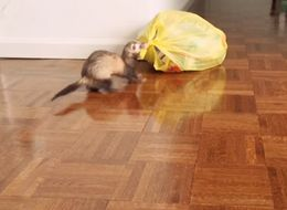 This Ferret Can Take Out The Rubbish And We Want One