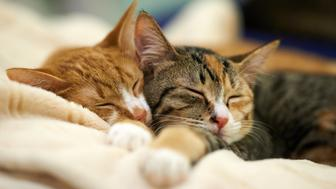 Two young domestic cats sleeping and snuggled.
