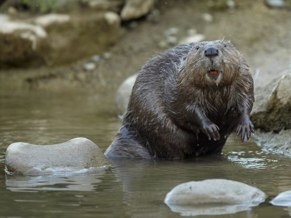 Aside from this wet beaver, you can still find castoreum online, even on Etsy, where vendors sell the castoreum sacs dried, w