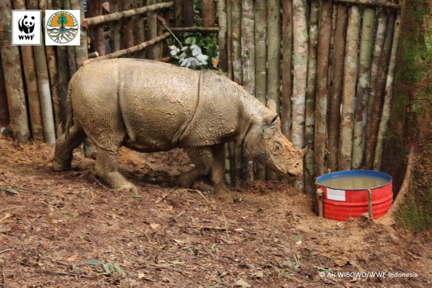 WWF safely captured a female Sumatran rhino in Kalimantan earlier this month. The critically endangered...