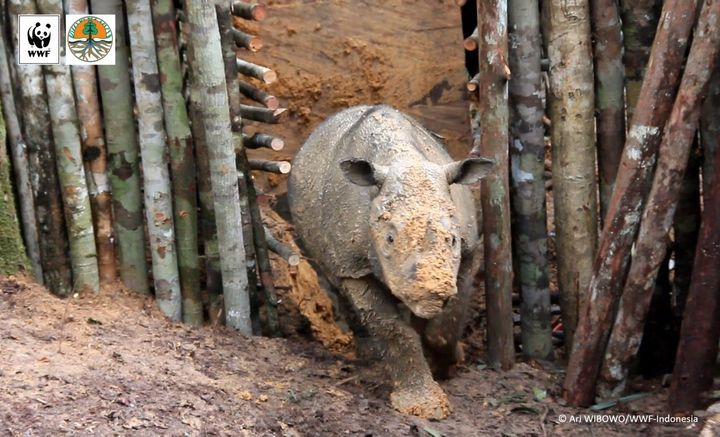The female Sumatran rhino, captured in Kalimantan, is estimated to be 4 or 5 years old.