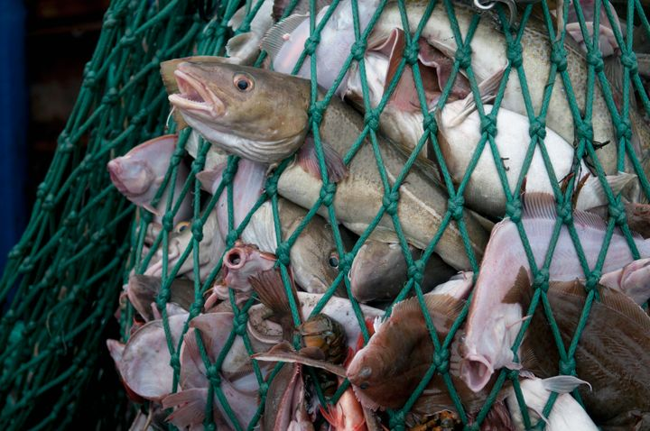 A fishing net full of Atlantic cod, yellowtail flounder and American lobster.