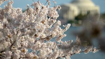 WASHINGTON, DC - MARCH 25:  Cherry blossoms are seen in full bloom on the Tidal Basin on March 25, 2016 in Washington, DC.  (Photo by Leigh Vogel/Getty Images)
