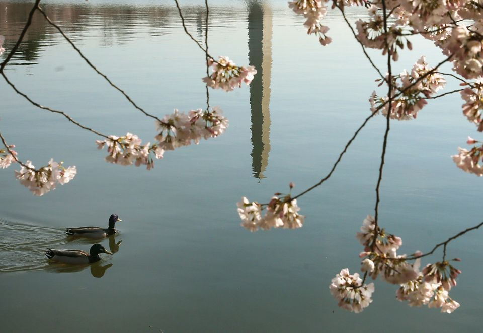 Two ducks paddle by in Tidal Basin where the Cherry Blossoms are blooming, March 24, 2016 in Washington, D.C.