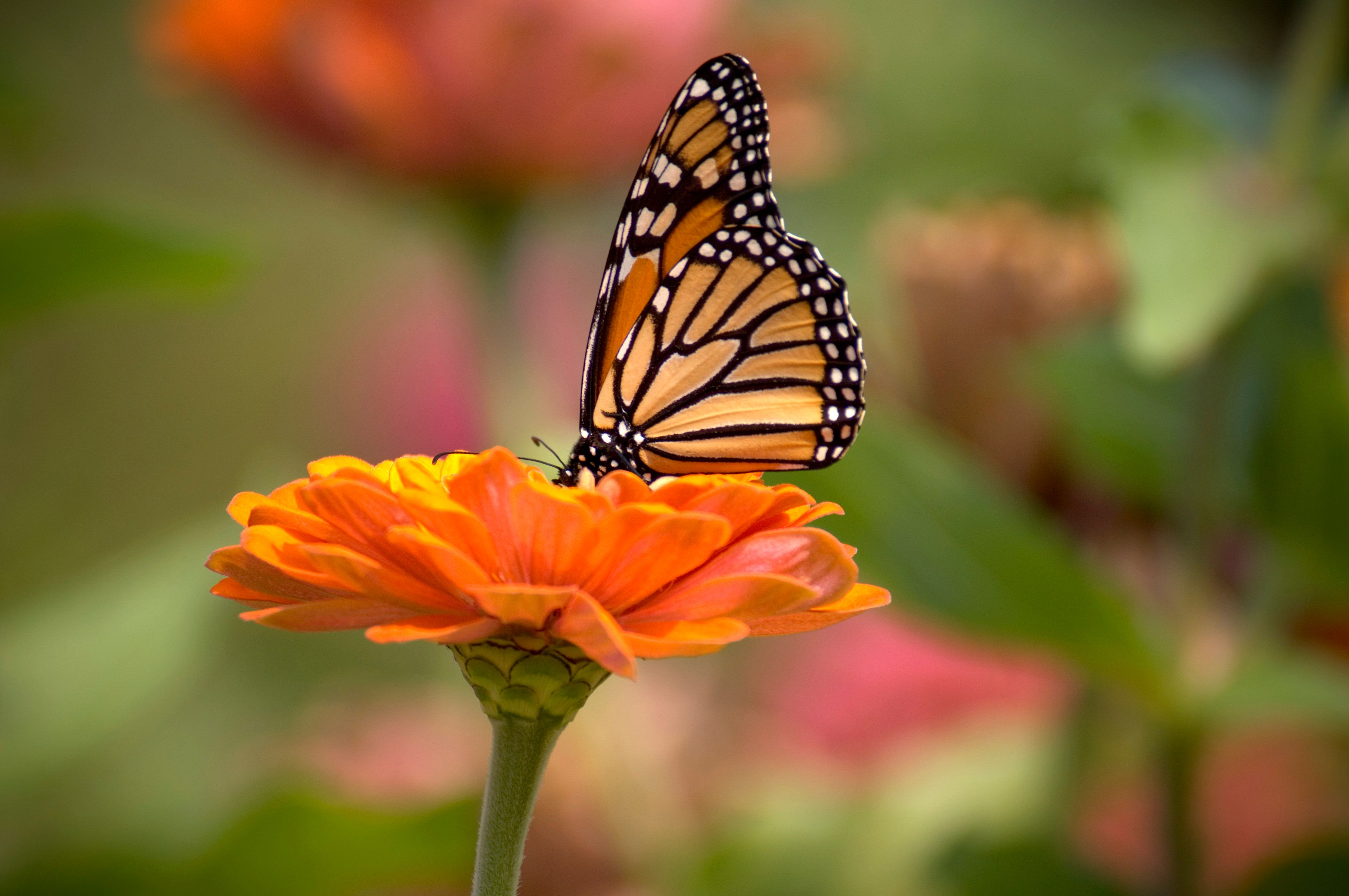 eastern monarch butterflies may be at risk of extinction within 20