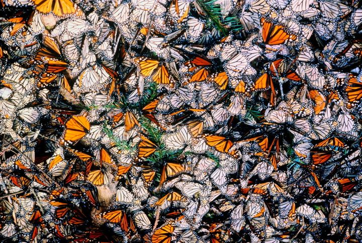 Monarch butterflies on a forest floor in Mexico.