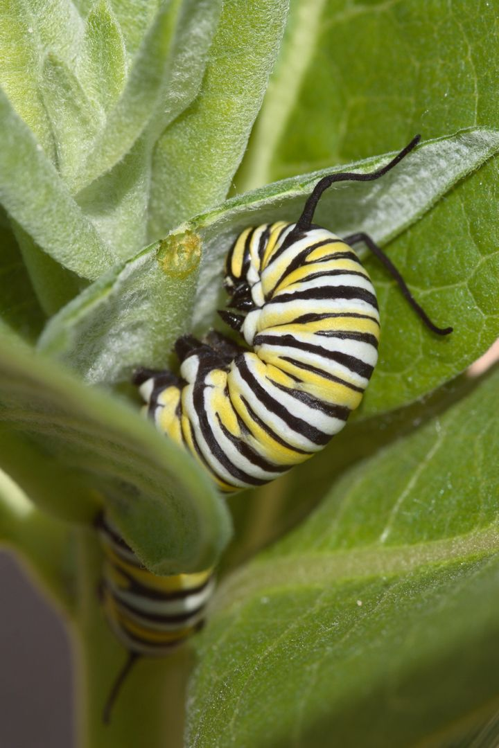 A monarch caterpillar munching on a milkweed plant.