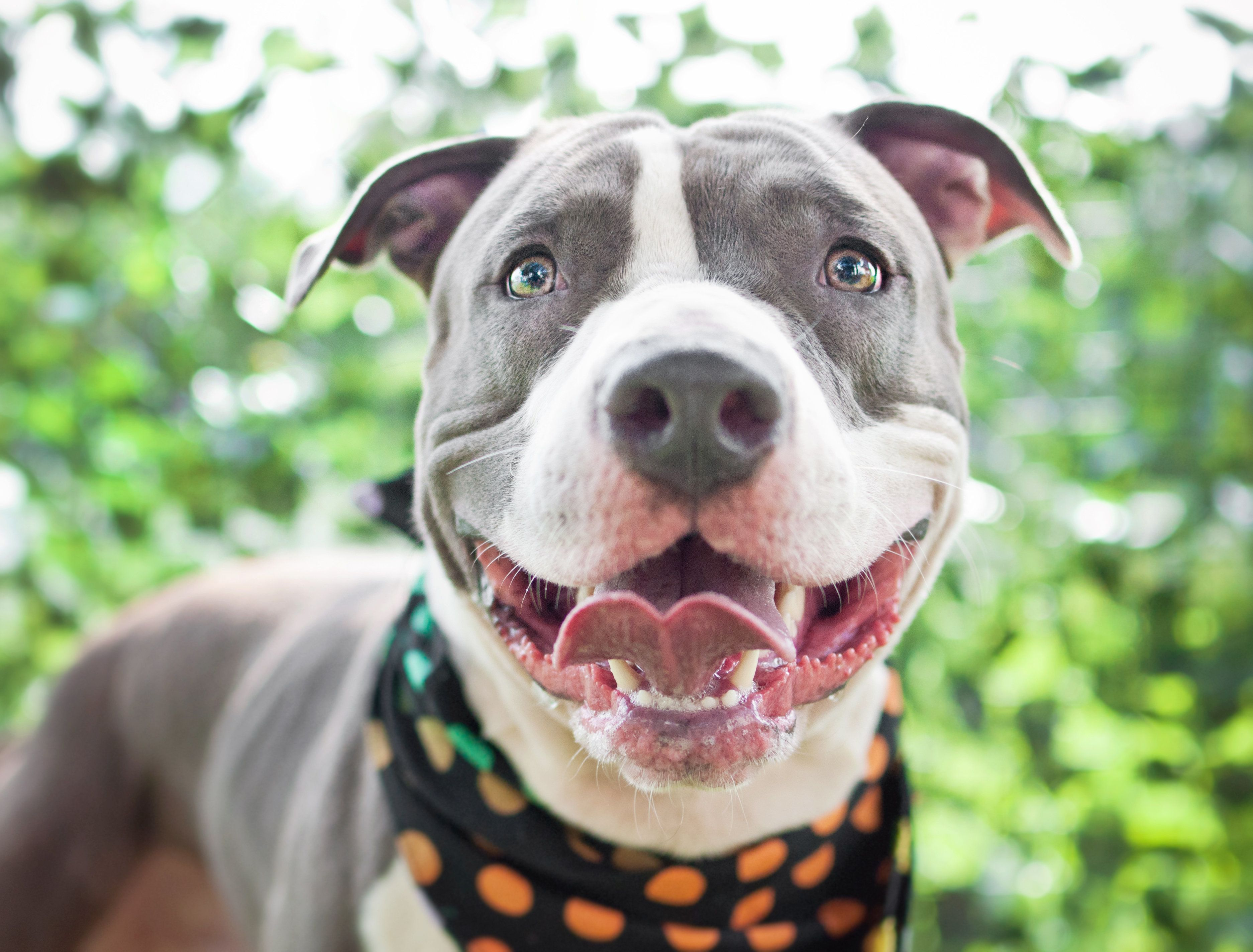 A gray and white Pit Bull mixed breed dog smiles happily outdoors.