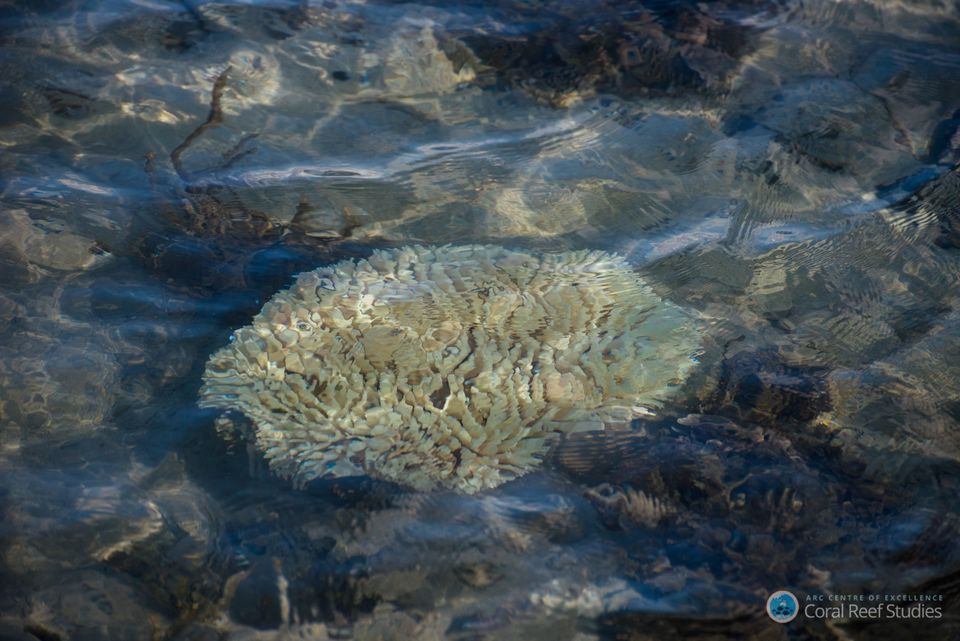 Coral takes on a ghostly white appearance once bleached. Thebleaching can spread and entire structures...