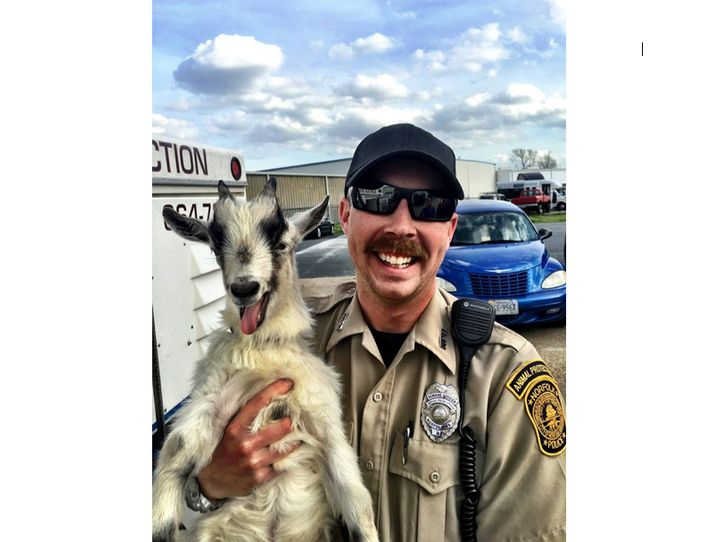 A runaway goat is seen posing with an animal control officer in Virginia following a brief foot chase.
