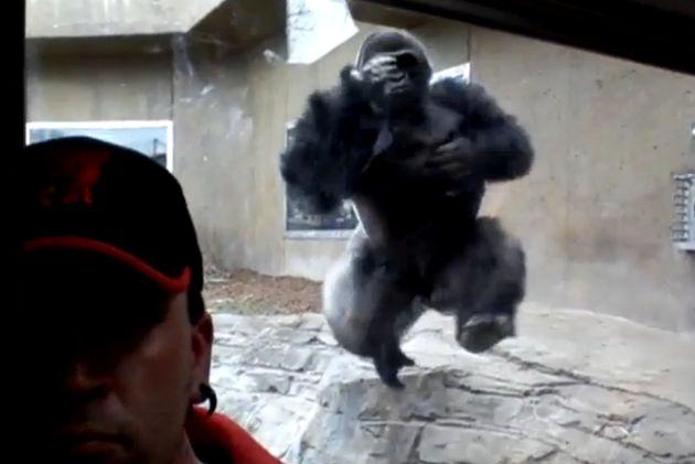 Silverback Gorilla Ferociously Attacks Zoo