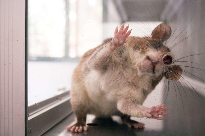 Photo shows a giant rat used to detect tuberculosis-causing bacteria at Apopo research center in Eduardo Mondlane University