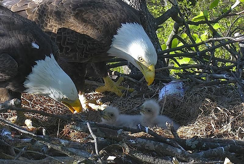 """Proud parents """"Mr. President"""" and """"The First Lady"""" are seen caring for their recently hatched eaglets in Washington, D.C."""