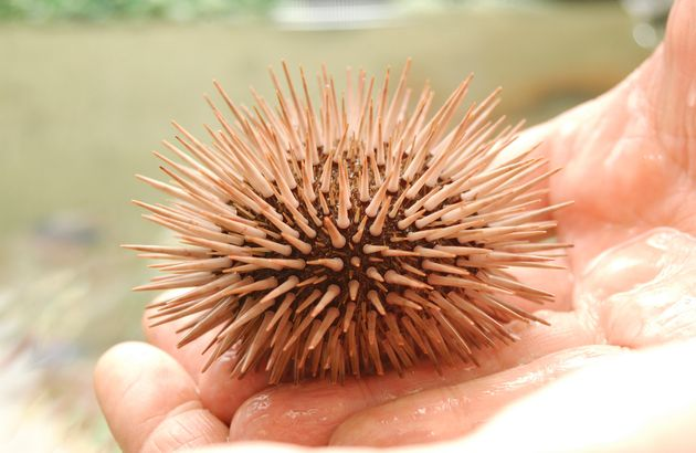 Sea urchin, right out of the