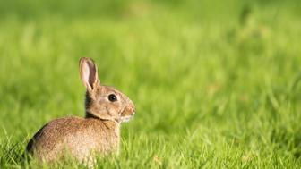 European rabbit (Oryctolagus cuniculus) on alert, Ashdown Forest, Sussex, England