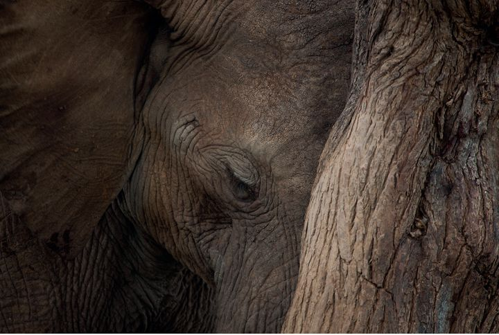 An elephant leans its head against the trunk of a tree as it enjoys some shade.