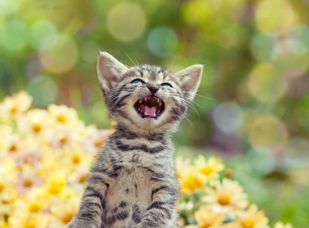Do Cats Have Accents Like Humans? This Phonetics Expert Hopes To Find