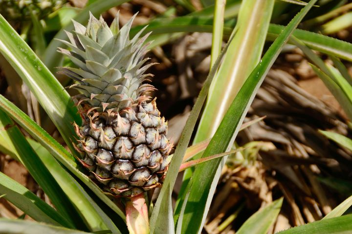 Your pineapple will grow right on top of the crown you planted!