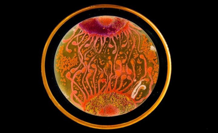 """Peñil's piece""""Cell to Cell,"""" which won thePeople's Choice award in the2015ASM Agar Art contest."""