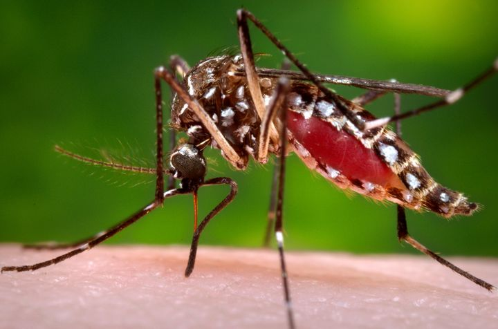 The Aedes<i> aegypti</i> mosquito is known to carry infectious diseases, such as dengue, yellow fever,&nbsp;chikungunya and Zika virus.
