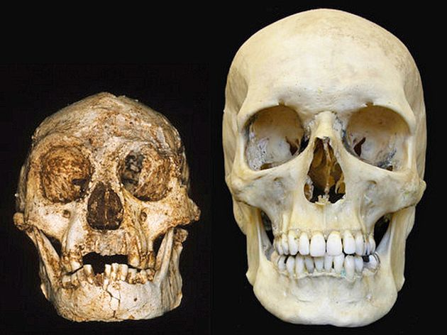 A University of New England image of a hobbit skull shows how much smaller it was compared to a human