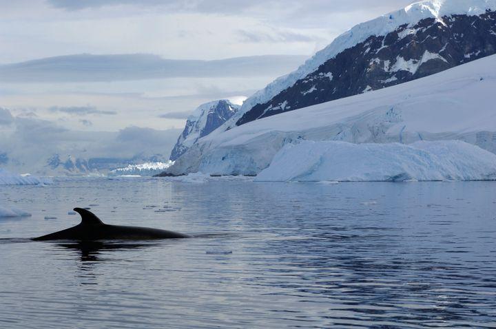 An Antarctic minke whale surfacing.
