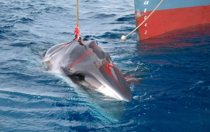 A minke whale is harpooned by the Japanese whaling vessel Yushin Maru No. 2 in the Southern Ocean in this photograph released