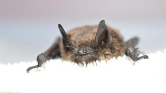 Washington state bat that became first case of white-nose syndrome west of the Rockies