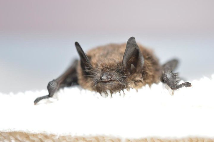 This Washington state bat became the first case of white-nose syndrome west of the Rockies.