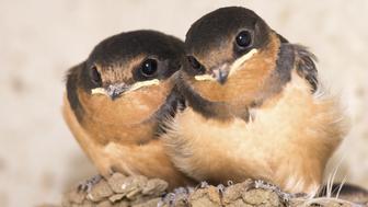 Tdwo baby Swallow Birds in mud nest, watching photographer